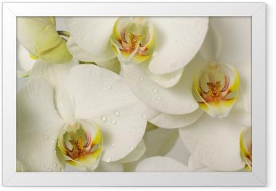 white orchids Framed Poster