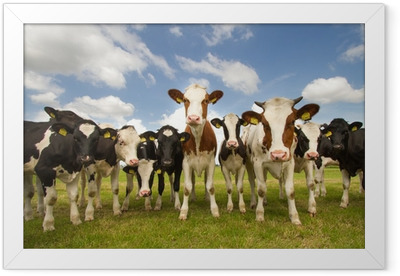 Team of Dutch cows Framed Poster