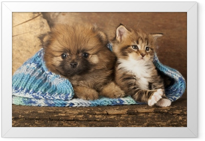 Spitz puppy and kitten breeds Maine Coon, Cat and dog Framed Poster
