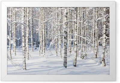 Snowy birch trunks Framed Poster