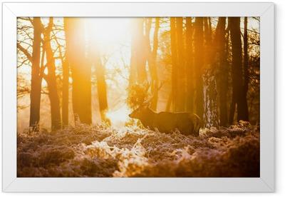Red deer in morning sun Framed Poster