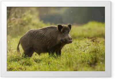 Wild boar, backlit, foraging for apples Framed Poster