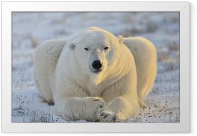 Polar bear lying at tundra. Framed Poster