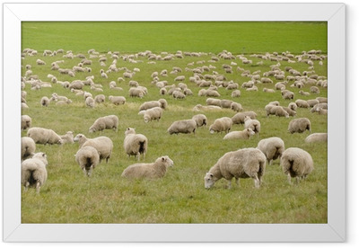 Flock of sheep in New Zealand Framed Poster