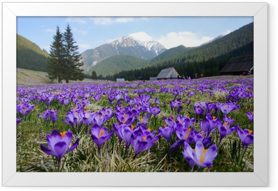 Crocuses in Chocholowska valley, Tatra Mountains, Poland Framed Poster