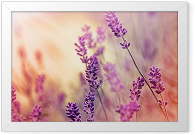 Soft focus on beautiful lavender and sun rays - sunbeams Framed Poster