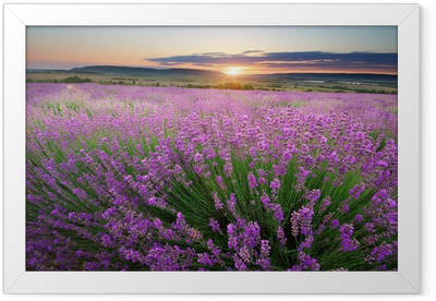 Meadow of lavender Framed Poster