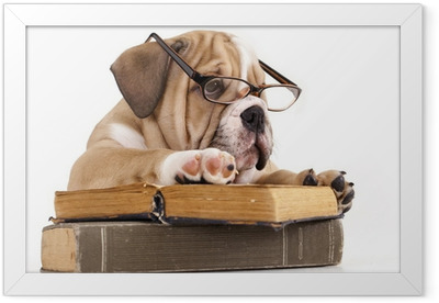 purebred english Bulldog in glasses and book Framed Poster