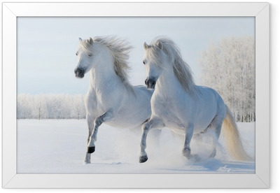 Two white horses gallop in the snow Framed Poster