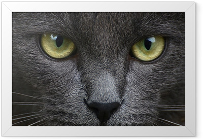 Close up portrait of grey kitten Framed Poster