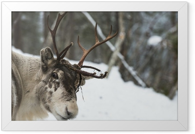 Reindeer standing in the snow Framed Poster