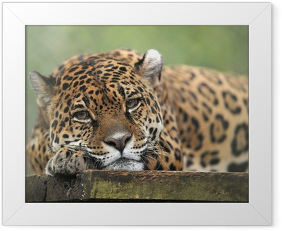 captive jaguar looking solemn, costa rica Framed Poster