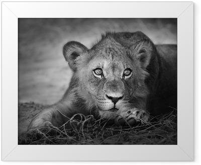 Young lion portrait Framed Poster