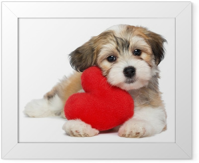 Lover Valentine Havanese puppy dog with a red heart Framed Poster