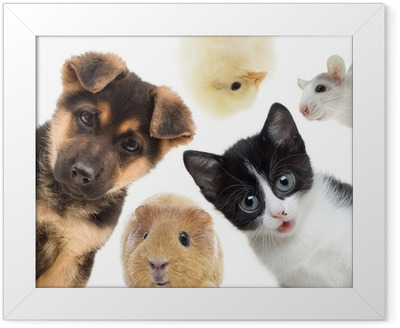 Puppy and kitten and guinea pig Framed Poster