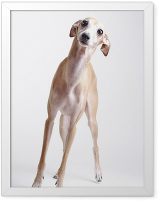 dog Italian greyhound Framed Poster