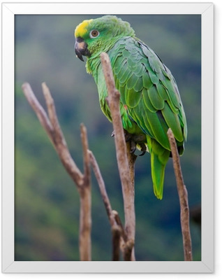 green costa rica parrot Framed Poster