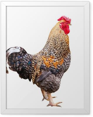 cock Framed Poster