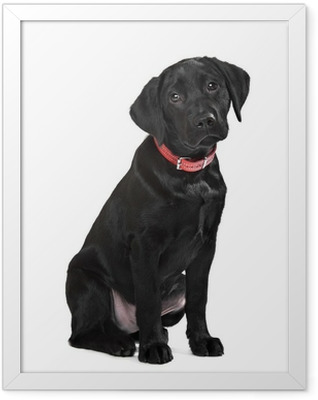 Black Labrador puppy Framed Poster