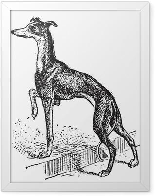 Greyhound, vintage engraving Framed Poster