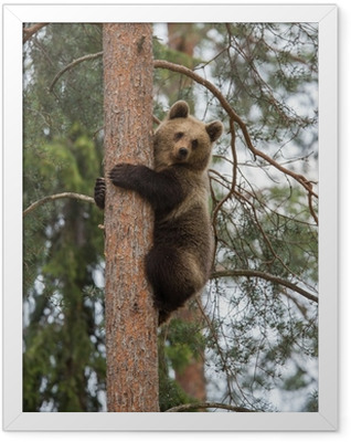 Brown bear climbing tree in Tiaga forest Framed Poster