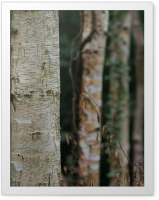 dark birch tree forest Framed Poster
