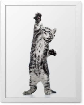 playful kitten cat isolated on white Framed Poster