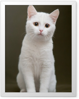Beautiful white cat with yellow eyes sitting on blanket Framed Poster