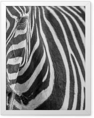 animal zebre portrait Framed Poster