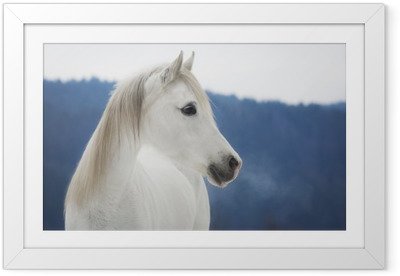 Gerahmtes Poster Weiße Vollblut Araber Stute im Schnee