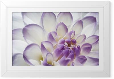 Poster en cadre Blanc et violet dahlia près