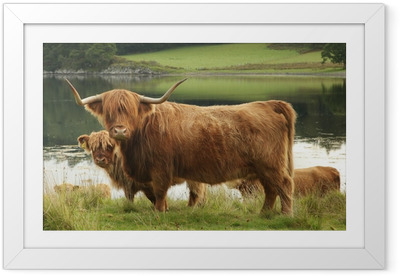 Scottish highland cow in field Framed Poster