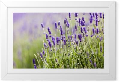 Gerahmtes Poster Lavendel Nahaufnahme