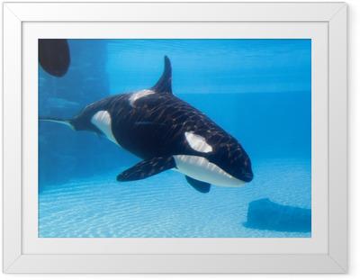 Gerahmtes Poster Killerwal (Orcinus orca) in einem Aquarium