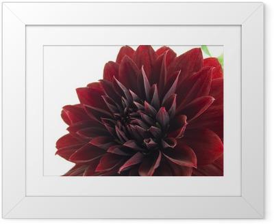 Poster en cadre Dahlia - Fleurs