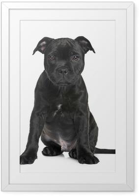Poster en cadre Chiot Staffordshire Bull Terrier (2 mois)