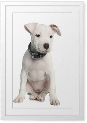 Poster en cadre Chiot terrier Staffordshire américain (2 mois)