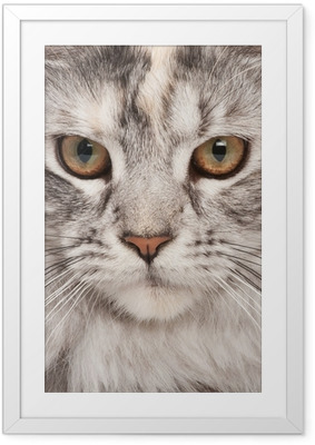 Maine-coon close-up portrait Framed Poster