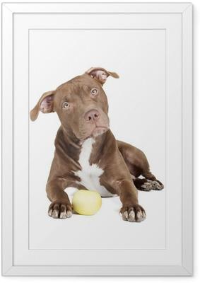 Poster en cadre Fosse de race de chien de taureau avec une pomme sur un fond blanc en studio