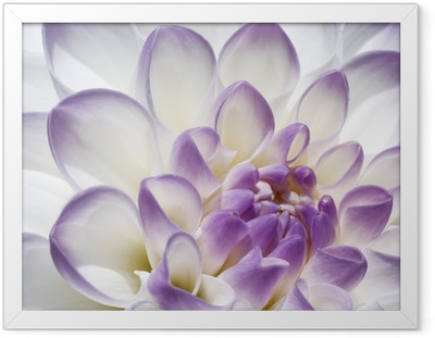 Póster com Moldura White and purple Dahlia close up