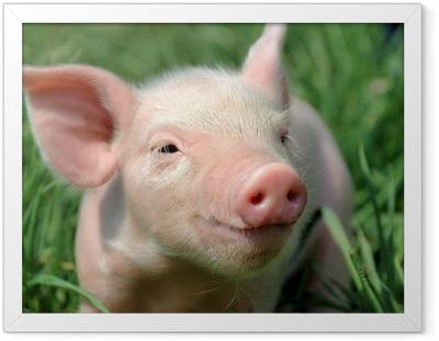 Plakat w ramie Młoda świnka na zielonej trawie