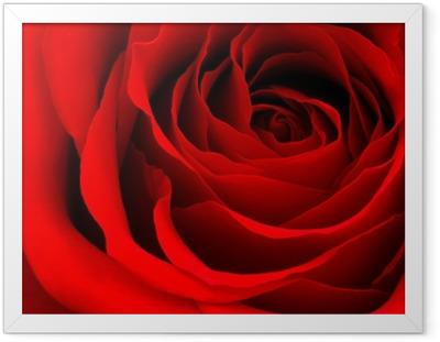 Gerahmtes Poster Red rose