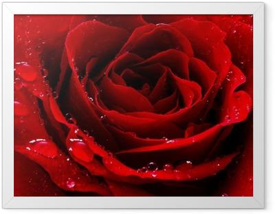 Plakat w ramie Czerwona róża z kropli wody