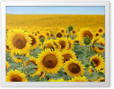 Ingelijste Poster Mooie zonnebloem veld