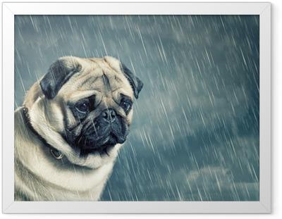 Plakat w ramie Pug w deszczu
