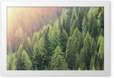 Gerahmtes Poster Zauberwald durch das Sonnenlicht beleuchtet. Nadelwaldregion.