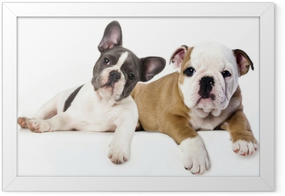 French Bulldog and english Bulldog puppy Framed Poster