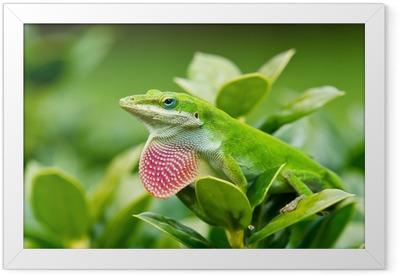Gerahmtes Poster Grüne Anolis (Anolis carolinensis) zeigt sich rosa Wamme