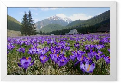 Póster Enmarcado Azafranes en valle Chocholowska, montañas de Tatra, Polonia