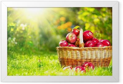Økologiske æbler i en kurv udendørs. Frugthave. Efterårshave Indrammet plakat